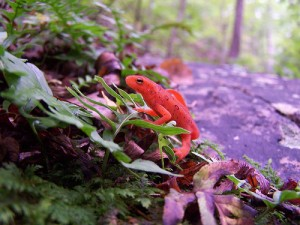 This little guy is showing off his brilliant reddish orange terrestrial colors